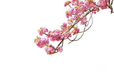 Photograph - Sakura Cherry Blossom by Benny Marty