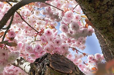 Photograph - Sakura Cherry Blossom by Martin Stankewitz