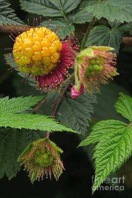 Photograph - Salmonberry by Frank Townsley