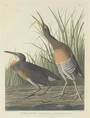 Audubon Drawing - Salt Water Marsh Hen by Dreyer Wildlife Print Collections