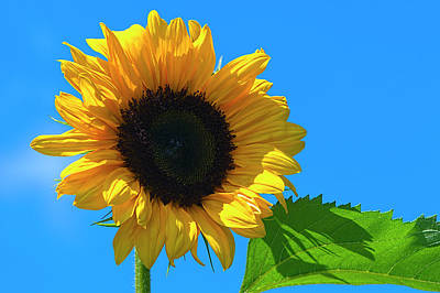 Photograph - Salute The Sun Sunflower by Sharon Talson