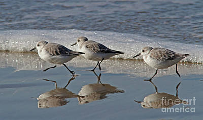 Wall Art - Photograph - Sanderling by Gary Wing