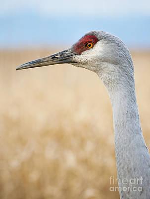 Photograph - Sandhill Crane by Chris Dutton