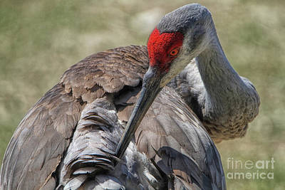 Photograph - Sandhill Crane by Elizabeth Winter