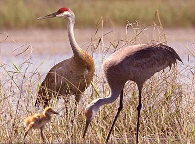 Photograph - Sandhill Crane Family by Richard Nickson