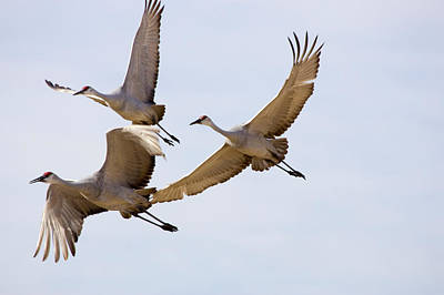 Sandhill Cranes In Flight Art Print by Panoramic Images