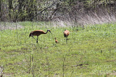 Photograph - Sandhill cranes with young by Jim Phares