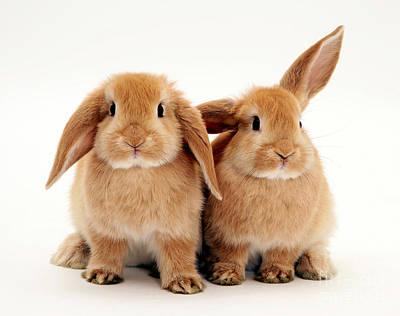 Sandy Lop Rabbits Art Print by Jane Burton