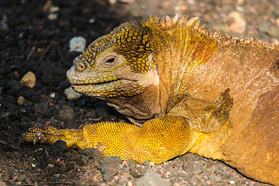 Photograph - Santa Cruz Land Iguana by Harry Strharsky