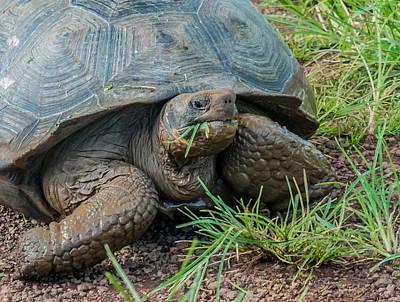 Photograph - Santa Cruz Tortoise Grass Feast by Harry Strharsky