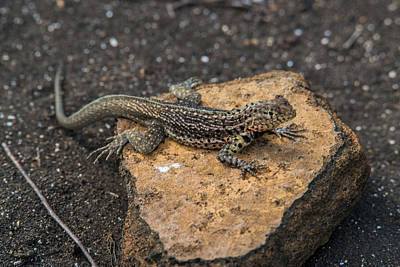 Photograph - Santiago Lava Lizard by Harry Strharsky