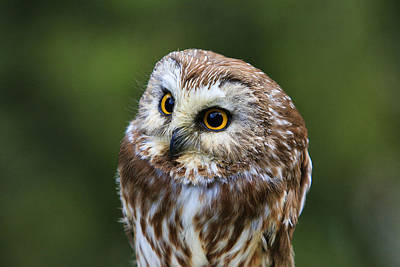 Photograph - Saw-whet Owl  by Steve McKinzie