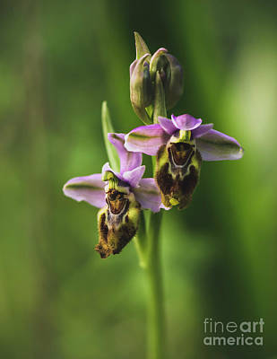 Photograph - Sawfly Orchid, Ophrys Tenthredinifera by Perry Van Munster