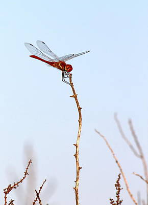 Photograph - Scarlet Dragonfly, Camargue, France by Elenarts - Elena Duvernay photo