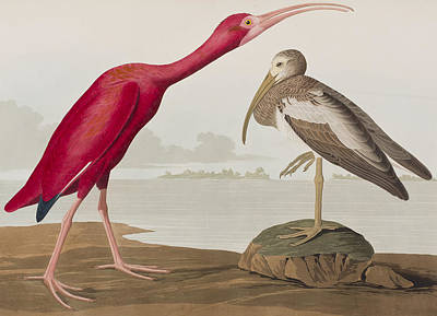 Red Rock Drawing - Scarlet Ibis by John James Audubon