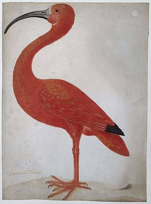 Starlings Painting - Scarlet Ibis With An Egg, Maria Sibylla Merian, 1699 - 1700 by Maria Sibylla Merian