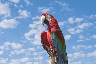 Kim Photograph - Scarlet Macaw by Kim Hojnacki