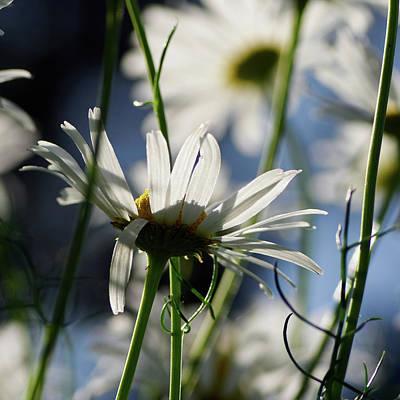 Photograph - Scentless Mayweed by Jouko Lehto