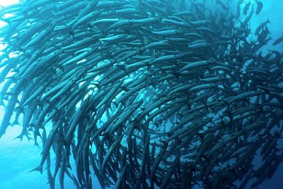 School Of Barracudas Underwater Art Print by MotHaiBaPhoto Prints