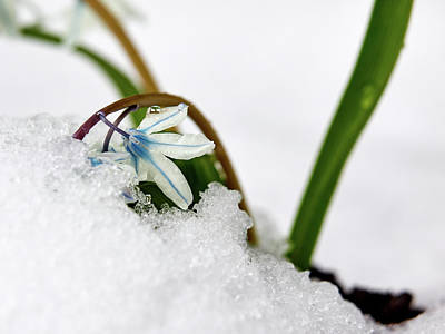 Photograph - Scilla On Snow by Jouko Lehto
