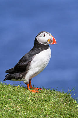Photograph - Scottish Puffin by Arterra Picture Library