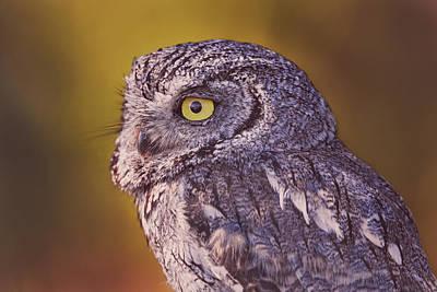 Photograph - Screech Owl  by Brian Cross
