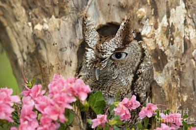 Photograph - Screech Owl by Jill Lang