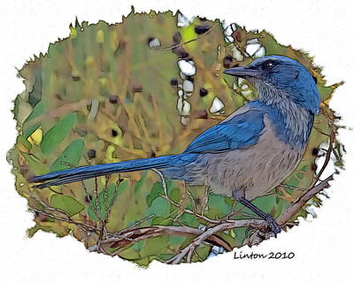 Scrub Jay Art Print by Larry Linton
