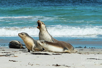 Photograph - Sea Lions Australia by Andrew Michael