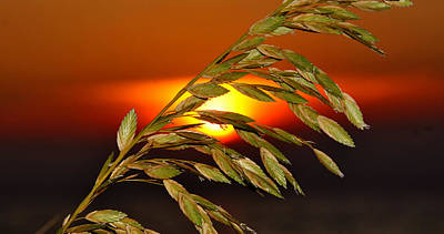 Photograph - Sea Oat Sunset by David Lee Thompson