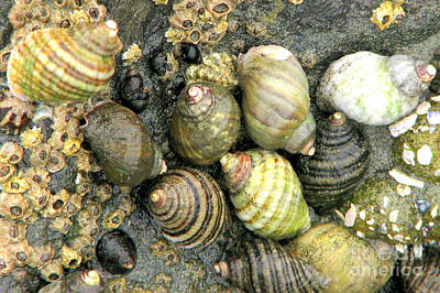 Photograph - Sea Snails by Frank Townsley