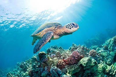 Underwater View Photograph - Sea Turtle by M.M. Sweet