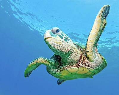 Green Sea Turtle Photograph - Sea Turtle by Monica and Michael Sweet