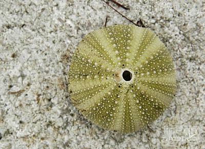 Photograph - Sea Urchin by Alana Ranney