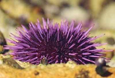 Photograph - Sea Urchin  by Christy Pooschke