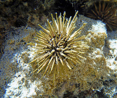 Photograph - Sea Urchin by Pamela Walton