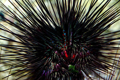 Wyland Photograph - Sea Urchin by Thea Wolff