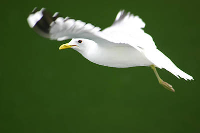 Photograph - Seagull At The Fjord by KG Thienemann