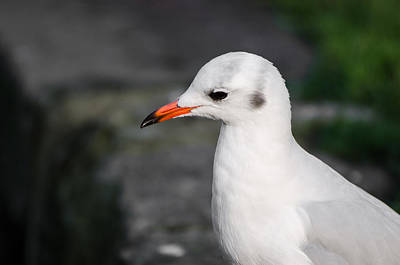 Photograph - Seagull by Daniel Precht