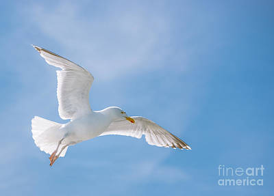 Seagull Flying High Art Print by Amanda Elwell