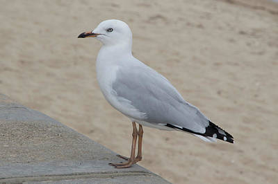 Photograph - Seagull by Masami IIDA