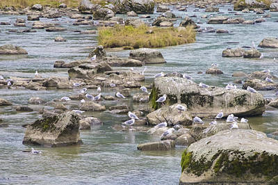 Photograph - Seagulls On The Rocks by Richard J Cassato