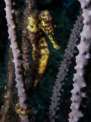 Photograph - Seahorse by Mau Riquelme