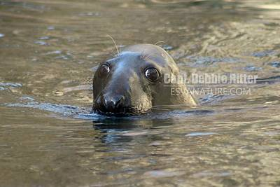 Photograph - Seal 1603 by Captain Debbie Ritter