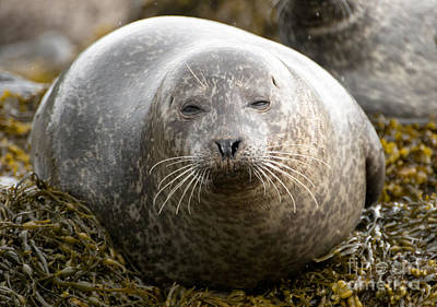 Photograph - Seal by Pietro Ebner