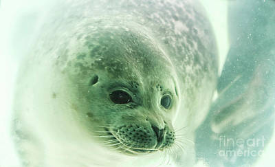 Photograph - Seal Underwater In Close Up by Patricia Hofmeester