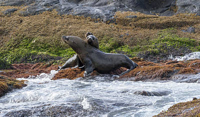 Photograph - Seals - Montague Island - Australia by Steven Ralser