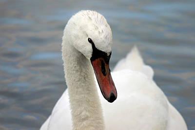 Photograph - Seductive Mute Swan Portrait by Pierre Leclerc Photography