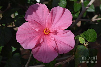 Photograph - Seminole Pink Hibiscus by Jeannie Rhode
