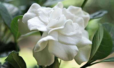 Gardenia Photograph - Graceful by Kathy Bucari